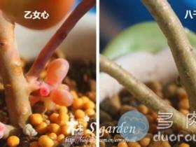 【图文解析】如何明明白白区分多肉植物八千代与乙女心