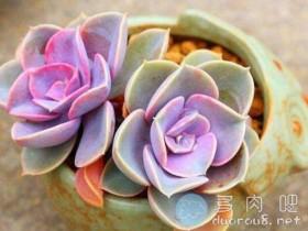 【多肉画图】10分钟教你画:紫珍珠