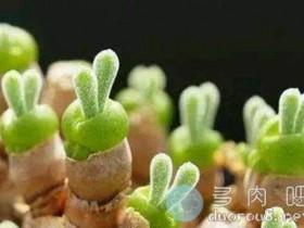 """多肉植物里的""""兔斯基"""",碧光环种植日志"""