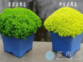 黄金万年草和薄雪万年草是同一种植物吗?有什么区别?