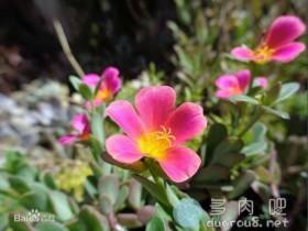 大花马齿苋(又名:太阳花、半枝莲、松叶牡丹、死不了)
