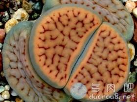 """生石花冷门品种系列之""""招福玉系"""""""