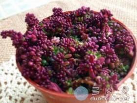 马齿苋属多肉紫米粒(又名:米粒花、 紫米饭、紫珍珠、流星)