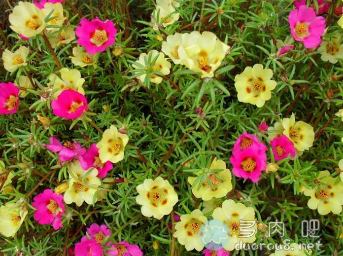 大花马齿苋(又名:太阳花、半枝莲、松叶牡丹、死不了)图片 No.3