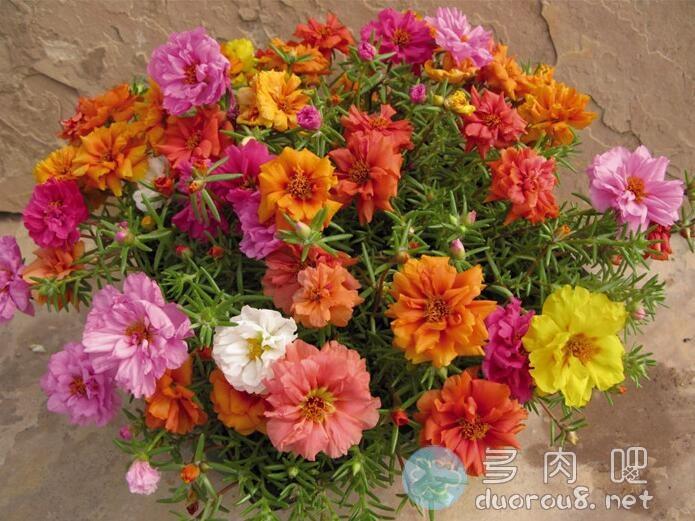 大花马齿苋(又名:太阳花、半枝莲、松叶牡丹、死不了)图片 No.4