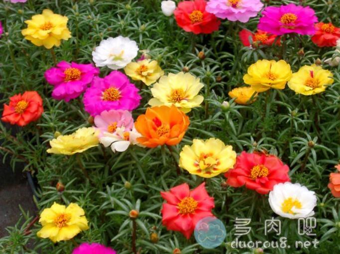 大花马齿苋(又名:太阳花、半枝莲、松叶牡丹、死不了)图片 No.5