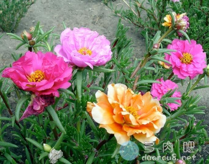 大花马齿苋(又名:太阳花、半枝莲、松叶牡丹、死不了)图片 No.6