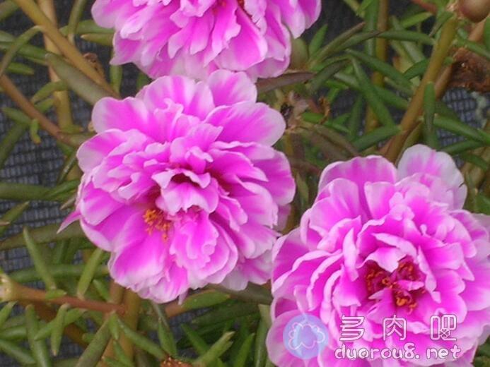 大花马齿苋(又名:太阳花、半枝莲、松叶牡丹、死不了)图片 No.7