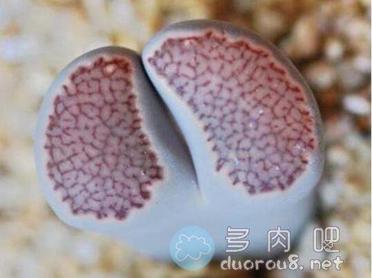 """生石花品种之""""李夫人系""""图片 No.2"""