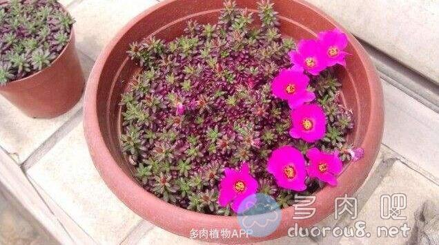 马齿苋属多肉紫米粒(又名:米粒花、 紫米饭、紫珍珠、流星)图片 No.4
