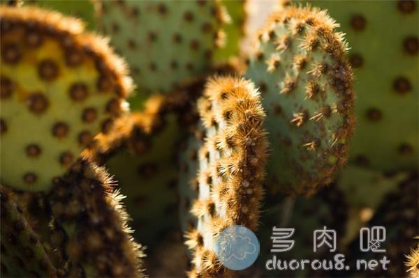 花火团扇-仙人掌里的酷炫品种!图片 No.1