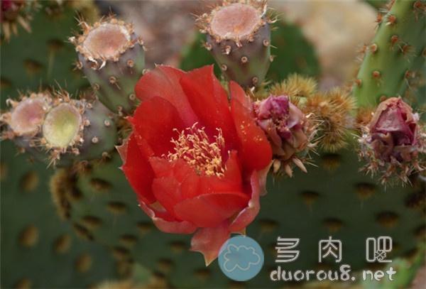 花火团扇-仙人掌里的酷炫品种!图片 No.5