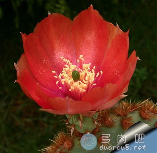 花火团扇-仙人掌里的酷炫品种!图片 No.6