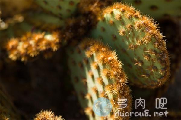 花火团扇-仙人掌里的酷炫品种!图片 No.4