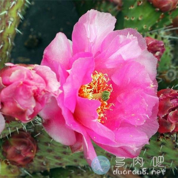 较稀有的仙人掌: 酒红团扇 Opuntia Saucey图片 No.3