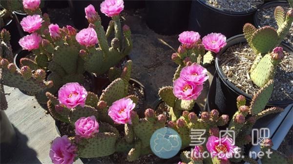 较稀有的仙人掌: 酒红团扇 Opuntia Saucey图片 No.5