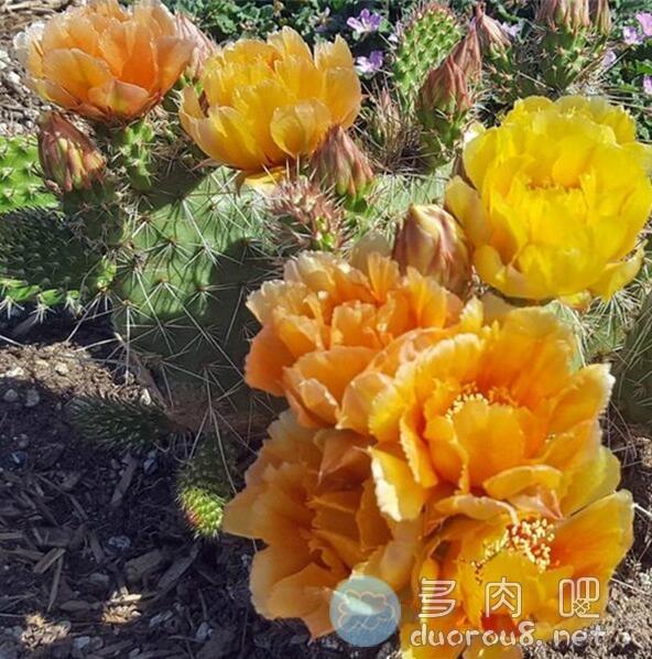 内布拉斯加橙仙人掌,稀有且小贵图片 No.4