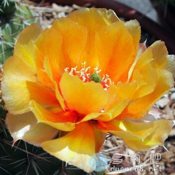 内布拉斯加橙仙人掌,稀有且小贵图片 No.5
