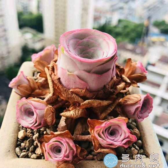 山地玫瑰的记录贴,还真是特别美有木有?图片 No.57