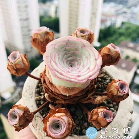 山地玫瑰的记录贴,还真是特别美有木有?图片 No.56