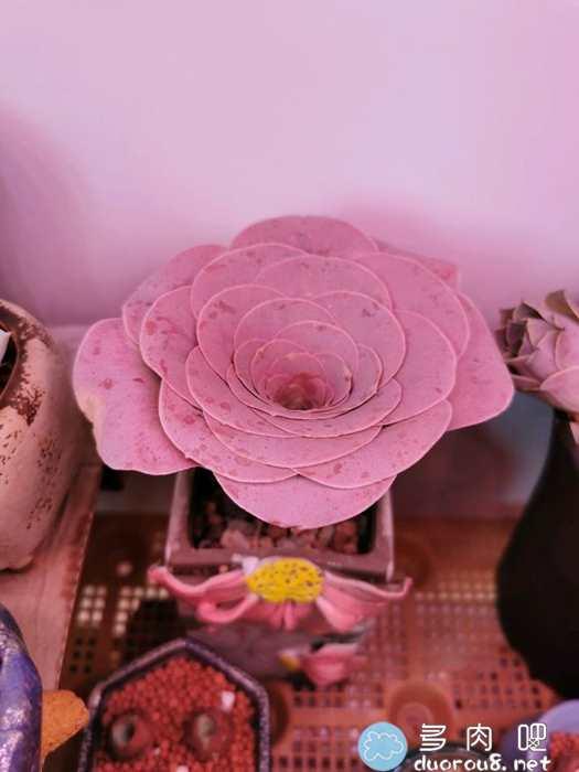 山地玫瑰的记录贴,还真是特别美有木有?图片 No.72