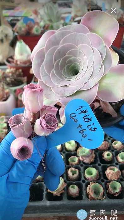 山地玫瑰的记录贴,还真是特别美有木有?图片 No.37