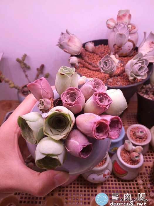 山地玫瑰的记录贴,还真是特别美有木有?图片 No.39