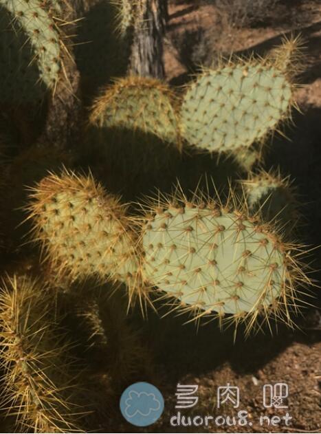 淡绿仙人掌团扇 Opuntia hlorotica,稀有价格不菲图片 No.4