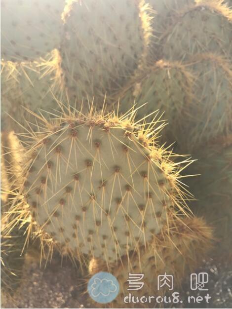 淡绿仙人掌团扇 Opuntia hlorotica,稀有价格不菲图片 No.5
