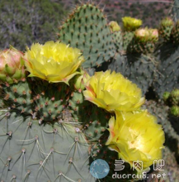 淡绿仙人掌团扇 Opuntia hlorotica,稀有价格不菲图片 No.6