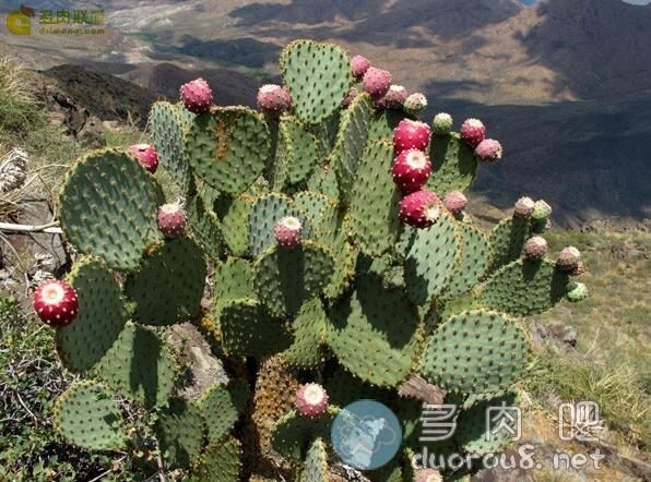 淡绿仙人掌团扇 Opuntia hlorotica,稀有价格不菲图片 No.7